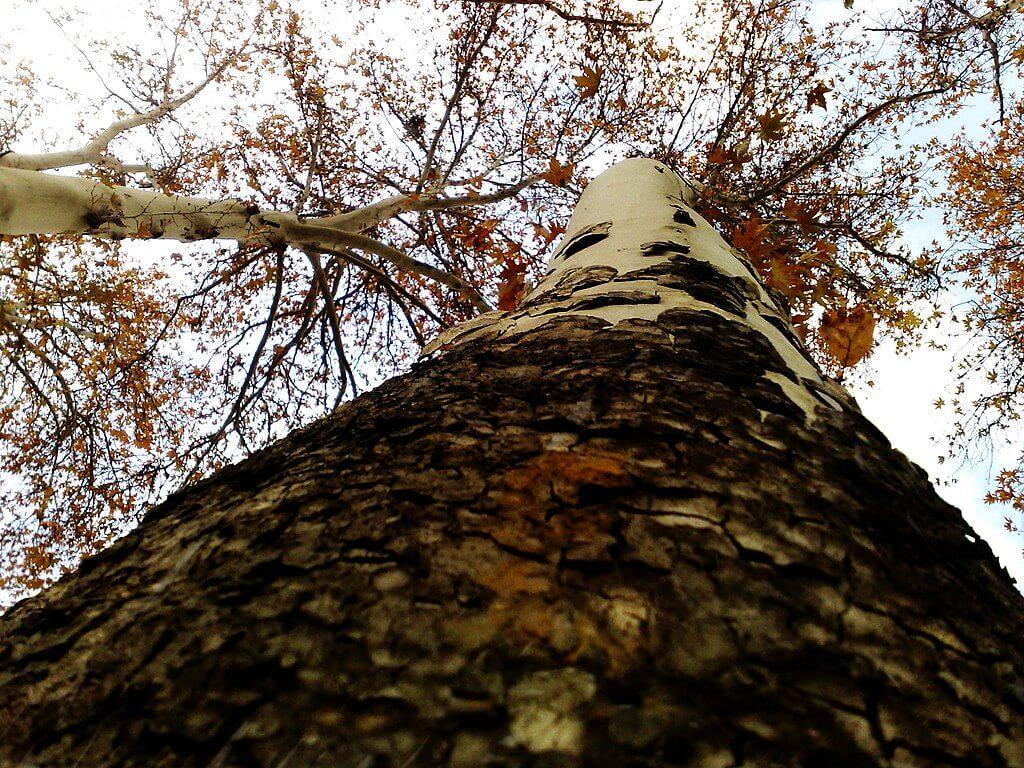 تنه درخت چنار
