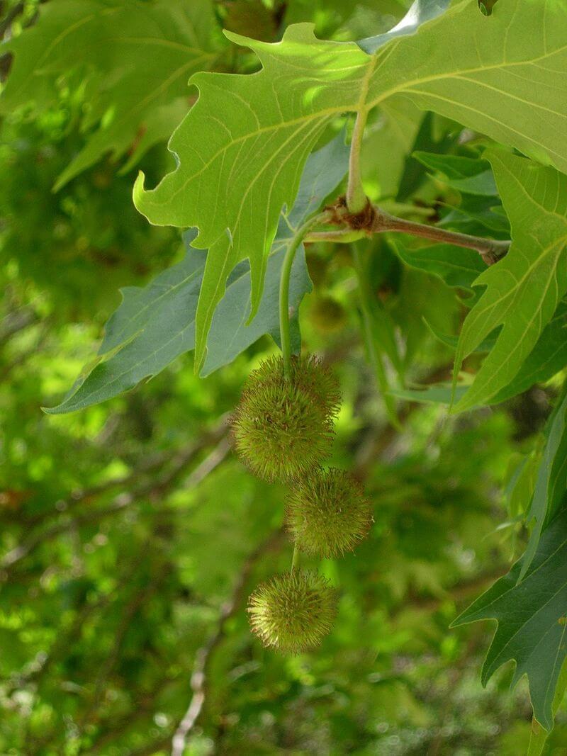 میوه و برگ چنار خاوری