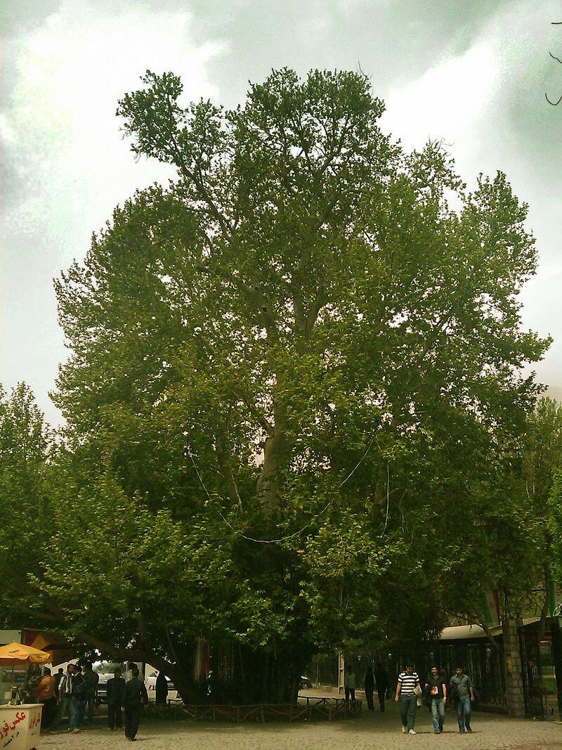 درخت چنار کرمانشاه